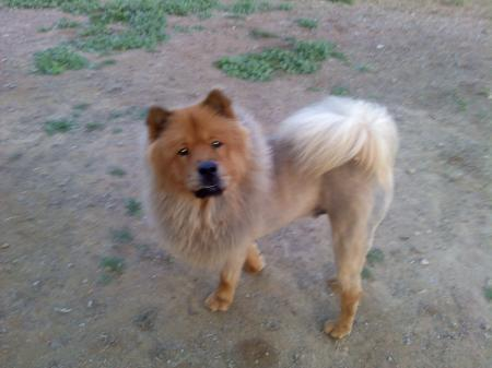 Dog with Lion Cut Chow