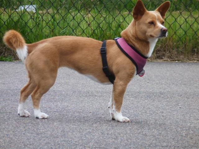 Basenji Corgi Mix | Dog Breeds Picture