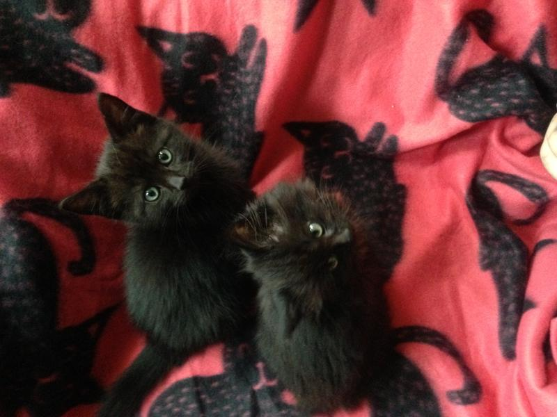 Mochi and Wolfie brothers when kittens a year ago October 2016