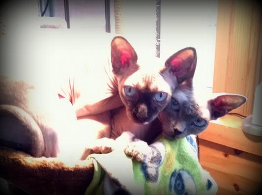 Best Cat Food Brand For Sphynx